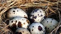Các nhà khoa học khuyên nên ăn 5 - 6 quả trứng cút mỗi ngày