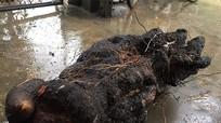 Nghệ An: Đào được củ khoai khổng lồ 28 kg