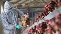 Nghệ An lên kịch bản ứng phó với dịch cúm gia cầm
