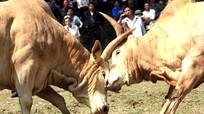 Nghệ An: Chồng tổ chức chọi bò, vợ bị húc chết