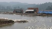 Nghi Lộc: Hàng ngàn gia cầm 'nhởn nhơ' thách thức dịch cúm