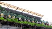 Độc đáo 'vườn treo' rau xanh bằng chai nhựa phế thải