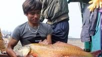 Nghệ An: Bắt được con cá nặng 8kg nghi là cá sủ vàng