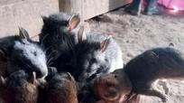 Kỳ lạ chuột rừng giá trên trời: 100.000 đồng một con