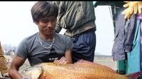 Cá sủ vàng ở Nghệ An chỉ bán được 15 triệu đồng