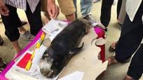 Phát hiện xác cá voi dạt vào đảo Ngư