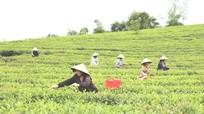 Nghệ An: Nông dân sản xuất chè sạch theo công nghệ Nhật Bản