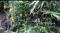 Những loài cây gieo chết chóc ở vùng cao Nghệ An