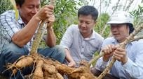 Công ty TNHH Chế biến nông sản Hoa Sơn: Khẳng định vị thế cây sắn