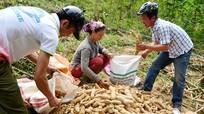 Công ty TNHH chế biến nông sản Hoa Sơn mở rộng vùng nguyên liệu sắn