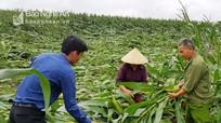 Nghệ An: Lốc xoáy làm gãy đổ nhiều diện tích ngô xuân