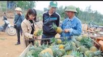 Quỳnh Lưu: Trồng dứa theo hướng rải vụ cho thu nhập cao