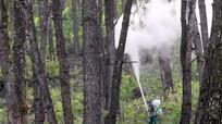 Yên Thành: Sâu róm gây hại hơn 400 ha rừng thông