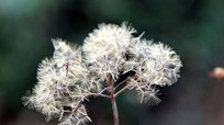 Vẻ đẹp hoang dã của hoa yến bạch