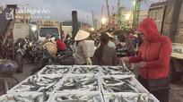 Ngư dân Quỳnh Lưu trúng đậm cá bạc má