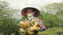 Nông dân Nghệ An có thêm mùa dứa 'ngọt'