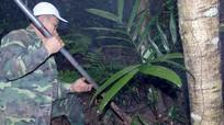 Tóe máu khi săn rễ cau rừng bán cho thương lái Trung Quốc