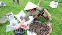Nông dân Anh Sơn bắt cả tấn ốc bươu vàng chỉ trong một buổi