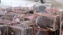 Nghệ An: Bắt giữ đối tượng vận chuyển 40 con dúi không rõ nguồn gốc