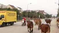 Bò vẫn thả rông trên phố thành Vinh