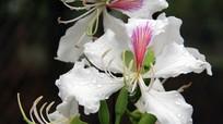 Mùa hoa ban nơi miền Tây xứ Nghệ