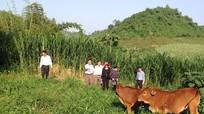 Quỳ Hợp hỗ trợ 257 con bò giống cho dân