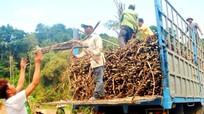 Nghệ An: Có tình trạng tranh mua mía nguyên liệu?