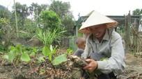 Nhân rộng cây dong riềng trên đất Lục Dạ