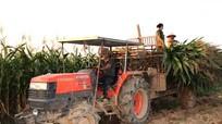 Nông dân lãi trăm triệu từ trồng ngô sinh khối