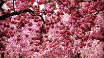 Ngắm hoa anh đào nở rộ trên khắp thế giới