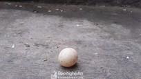 Nghệ An: Hi hữu gà trống chọi đẻ trứng