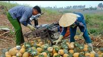 Trồng dứa 'tự bán' ở Quỳnh Lưu