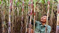 Xã trồng mía ép nước giải khát ở Nghệ An
