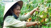 Diễn Châu: Trồng cà chua trên đất cát cho thu nhập cao