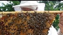 Nông dân Nghệ An nuôi ong mật xuất khẩu thu tiền tỷ