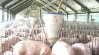 Thương lái mua lợn 2 triệu bán 6 triệu đồng/con