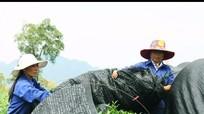 Cận cảnh sản xuất chè làm bột trà xanh Matcha kiểu Nhật ở Nghệ An