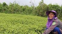 Nam Đàn: Trồng rau răm, rau đuôi khỉ cho thu nhập trăm triệu/ha