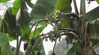 Kỳ lạ 3 cây chuối trổ tới 14 buồng ở Tân Kỳ