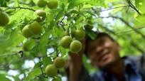 Những người 'bỏ làng' vào rừng trồng rau sạch