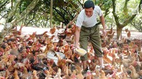 Nông dân nuôi gà đồi thu hơn 200 triệu mỗi năm