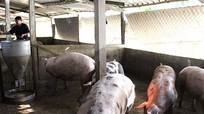 Hưng Nguyên: 60 trang trại lợn điêu đứng vì mỗi con lỗ 1 triệu đồng