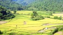 Thu hoạch sớm lúa xuân trên ruộng bậc thang miền Tây Nghệ An