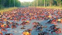 Thảm cua hàng triệu con rải kín vịnh Cuba