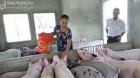 Nghệ An: Chăn nuôi lợn lao đao vì đâu?