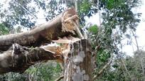 Lốc xoáy làm gãy đổ cao su thiệt hại hơn 20 tỷ đồng