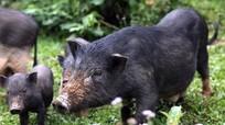 Dân bản lập hương ước mua bán lợn 'sạch'