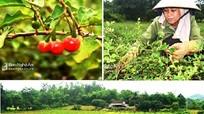 Xuất hiện cánh đồng dược liệu lớn ở vùng sinh thái miền Tây Nghệ An