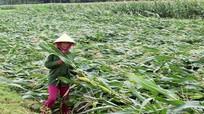 Nghệ An: Nhiều diện tích lúa, ngô bị đổ gãy sau mưa lớn