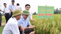 Nhân rộng mô hình giống lúa Bắc Thịnh trên các vùng sản xuất